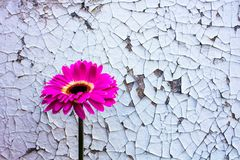 Pink gerbera flower on old vintage cracked paint background stock photos