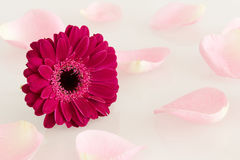 Pink gerbera flower and rose leaves Royalty Free Stock Photos