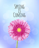 Pink gerbera flower spring background Royalty Free Stock Image