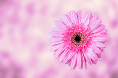 Pink gerbera flower , top view , blur background Stock Photography