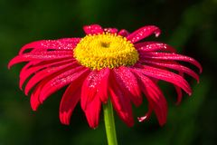 Pink gerbera flower with water drops Stock Photos
