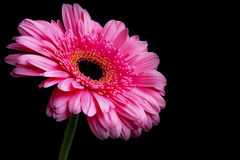 Pink gerbera flower with water drops on petals on dark backgroun Royalty Free Stock Photo