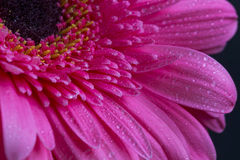 Pink gerbera flower with water drops on petals Royalty Free Stock Photos