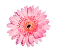 Pink Gerbera flower. Royalty Free Stock Photos