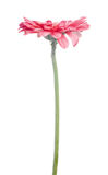 Pink gerbera flower on white background Stock Photo