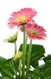 Pink gerbera in flowerpot stock photo