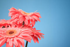 Pink gerbera flowers Stock Photos
