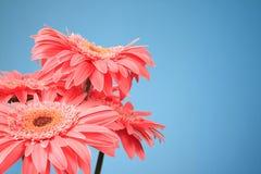 Pink gerbera flowers Stock Photos