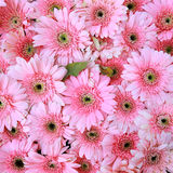 Pink gerbera flowers Royalty Free Stock Photos