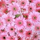 Pink gerbera flowers Royalty Free Stock Photos