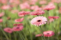 Pink gerbera flowers Stock Images