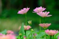 Pink Gerbera flowers Stock Photography