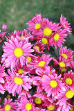 Pink gerbera flowers in the garden Royalty Free Stock Images