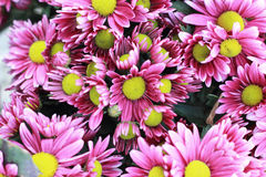Pink gerbera flowers in the garden Stock Images