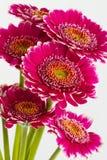 Pink gerbera flowers islolated on white background Stock Photo