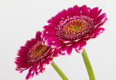 Pink gerbera flowers islolated on white background Stock Image