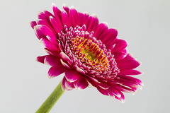 Pink gerbera flowers islolated on white background Royalty Free Stock Photos