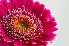 Pink gerbera flowers islolated on white background Stock Images
