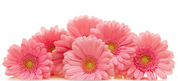 Pink gerbera flowers  isolated . Stock Image