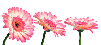 Pink gerbera flowers Royalty Free Stock Photography