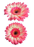 Pink gerbera flowers with water drops Stock Photography