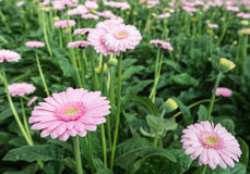Pink Gerbera flowers with a yellow heart Royalty Free Stock Photo