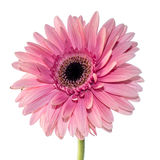 Pink gerbera front view. Detail Royalty Free Stock Photo