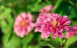 Pink Gerbera in the garden1. Pink Gerbera in the garden Royalty Free Stock Images