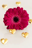 Pink gerbera with golden hearts Royalty Free Stock Image