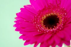 Pink gerbera on a green background Royalty Free Stock Images