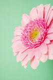 Pink gerbera on a green background Stock Photos