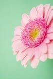 Pink gerbera on a green background Stock Photos