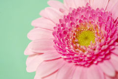 Pink gerbera on a green background Royalty Free Stock Photo
