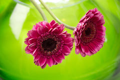 Pink gerbera in a green glass bowl Royalty Free Stock Image