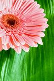 Pink gerbera on green leaf Royalty Free Stock Photo