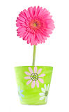 Pink Gerbera In A Clay Flower Pot Royalty Free Stock Photography