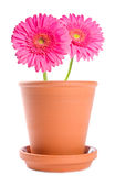 Pink Gerbera In Terracotta Pot Royalty Free Stock Photos