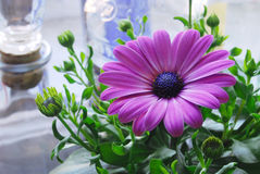 Pink Gerbera in the interior. Violet (crimson) home Gerbera in the interior close-up Stock Image