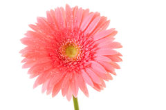 Pink gerbera isolated Stock Images