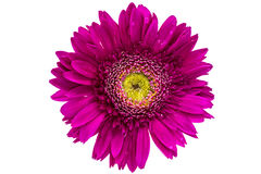Pink gerbera isolated stock image