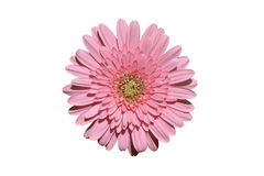 Pink gerbera Royalty Free Stock Photo
