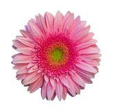 Pink gerbera isolated a white background Royalty Free Stock Image