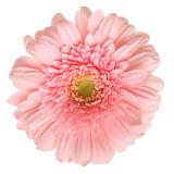 Pink gerbera isolated Royalty Free Stock Photo