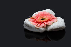 Pink gerbera laying on white rocks and dark surface reflection Stock Photography