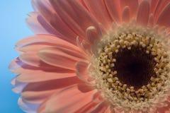 Pink gerbera. Macro Stock Photography