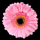 Pink Gerbera Marigold Flower Isolated on Black Royalty Free Stock Photos