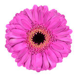 Pink Gerbera Marigold Flower Isolated on White Royalty Free Stock Photos