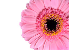 Pink Gerbera Marigold Macro Isolated on White Royalty Free Stock Photography