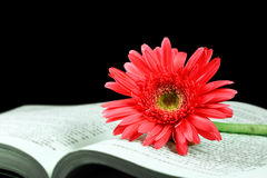 Pink gerbera on the open book. Pink gerbera and book on black background Royalty Free Stock Photography