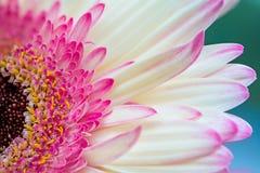 Pink gerbera petal Royalty Free Stock Photo